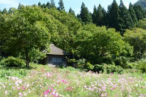 秋桜の阿弥陀堂(300).jpg